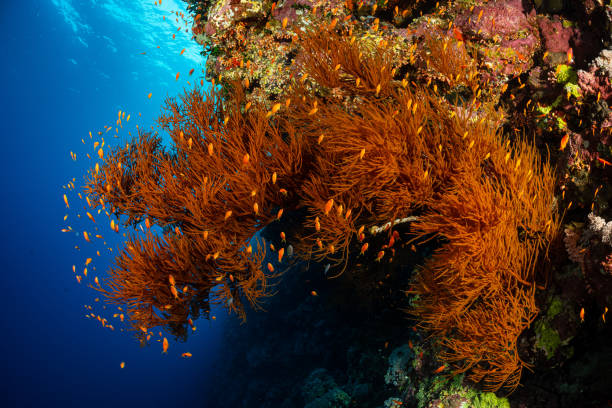 typical Red Sea tropical reef with hard and soft coral surrounded by school of orange anthias stock photo