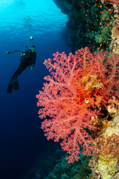 typical Red Sea tropical reef with hard and soft coral surrounded by school of orange anthias and a underwater photographer diver stock photo