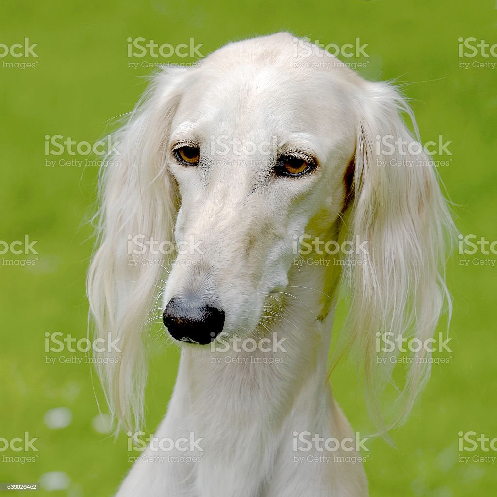Typical Saluki dog  on a green grass lawn stock photo