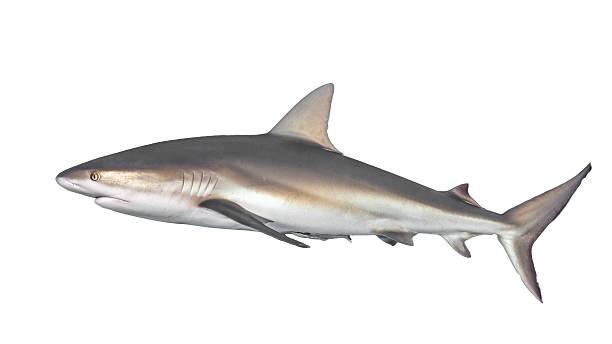 tipico lato in vista di squali, - squalo foto e immagini stock