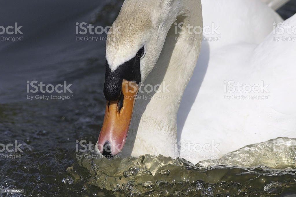 Mute swan Cygnus olor aggression attack stock photo