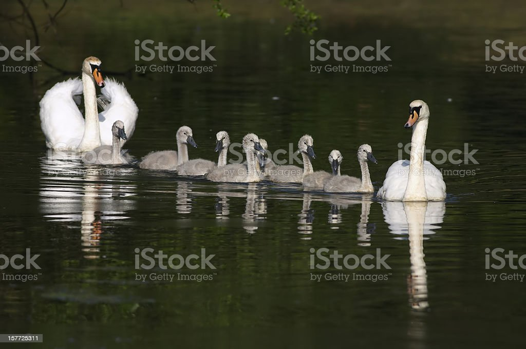 Mute swan Cygnus olor parents present family in a row stock photo