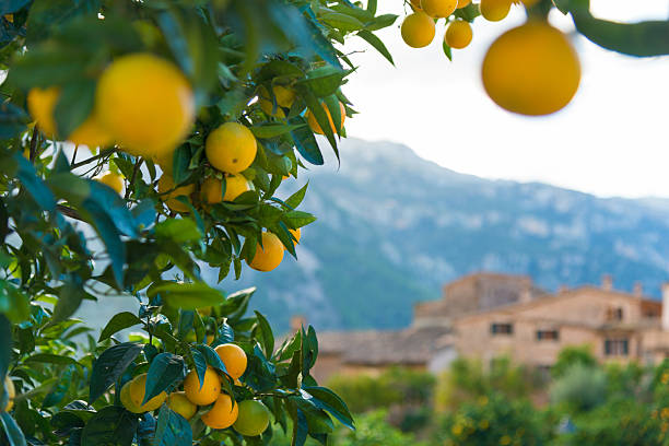 typical view in Orange farm at Fornalutx, Mallorca Spain stock photo