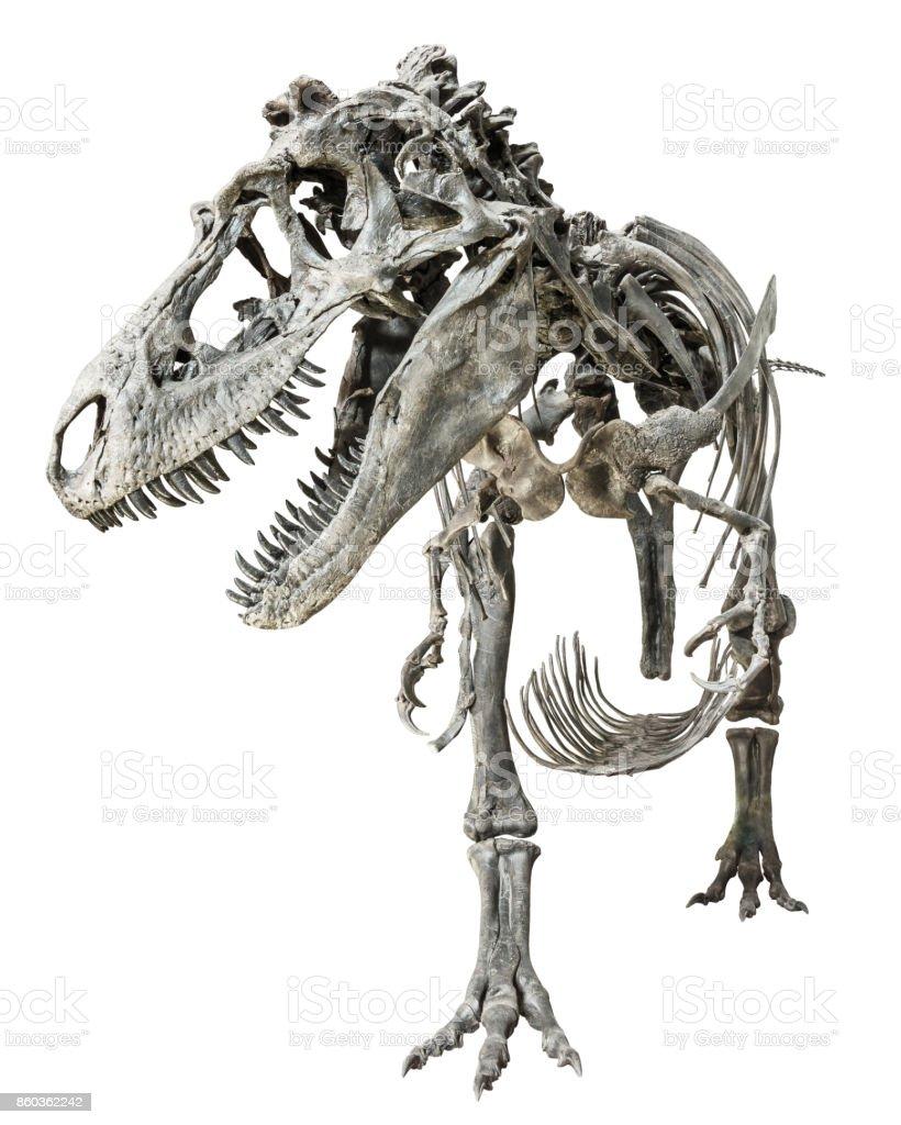 Tyrannosaurus Rex skeleton on isolated background stock photo