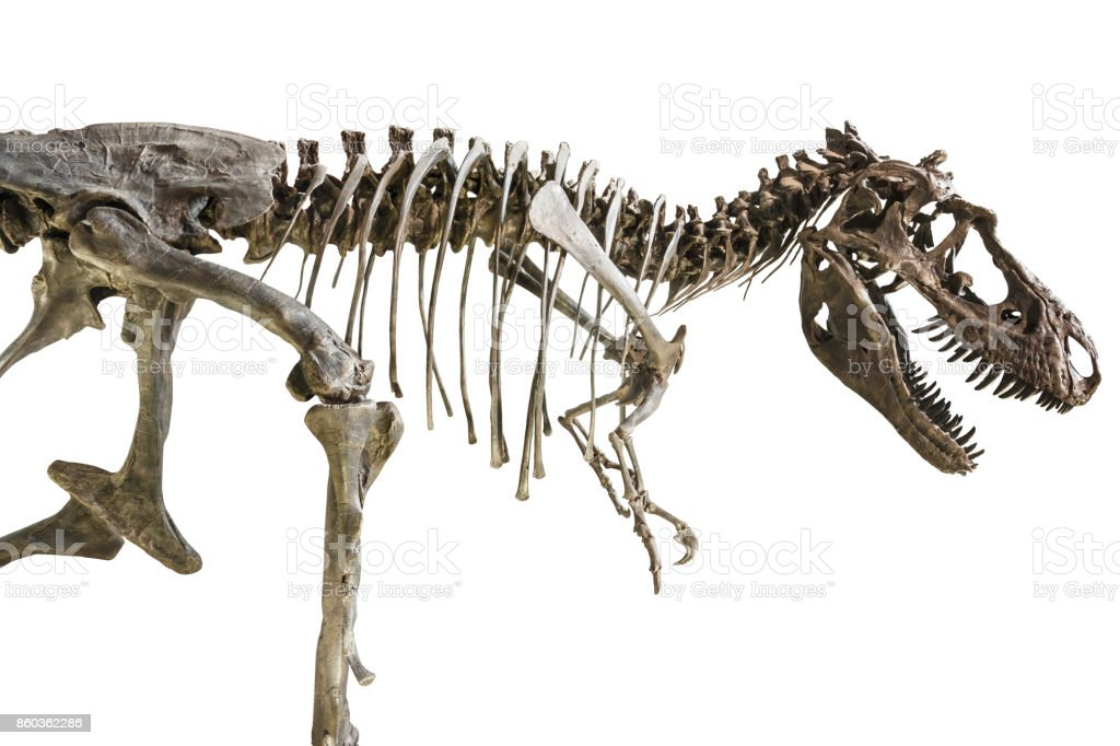 Tyrannosaurus Rex skeleton on isolated background stock photo