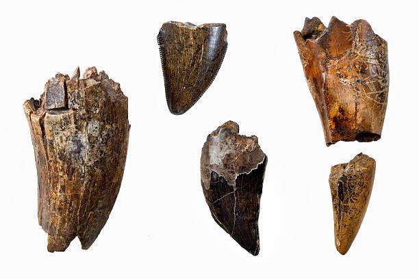 ティラノサウルスレックスの歯 ストックフォト