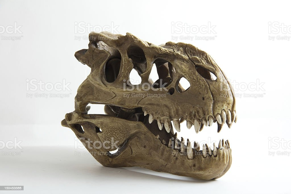 Tyrannosaurus skull model stock photo