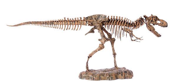 tyranosaurus rex skeleton, dinosaure squelette profile stock photo