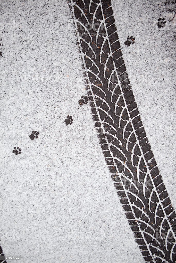Tyre track and Fox Paw Print Tracks on the snow royalty-free stock photo