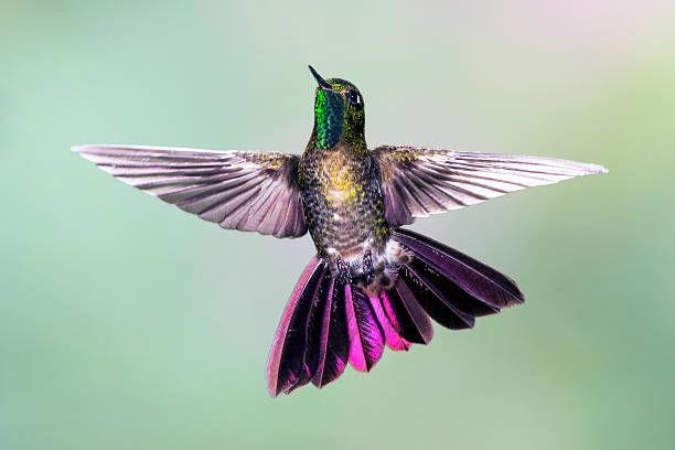 Tyrian Metaltail  Hummingbird with Tail Spread stock photo