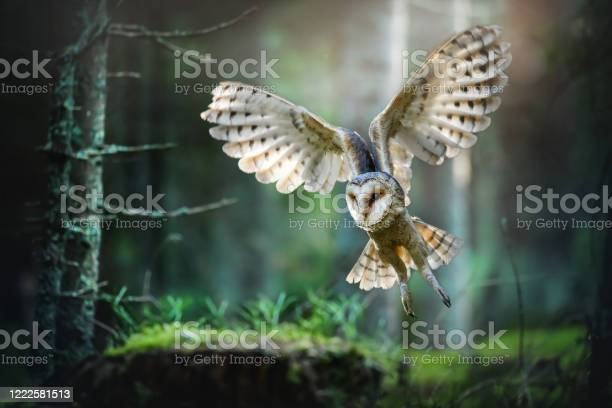 Tyto alba owl spead wings picture id1222581513?b=1&k=6&m=1222581513&s=612x612&h=ezvhocz0re62gxt7dpyq y4vbqfcklepj1vhir3ltc0=