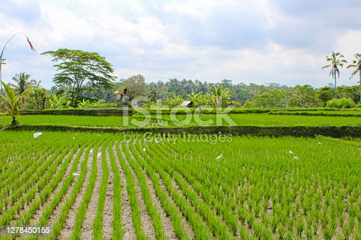 istock Ubud - Rice fields, Bali, Indonesia. 1278450155