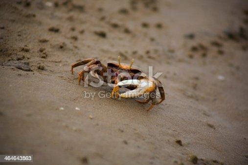 The Atlantic marsh fiddler crab, Uca pugnax feeding at Natural Park of Los Torunos, Cadiz, Spain