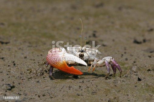 Fiddlercrab from Panama