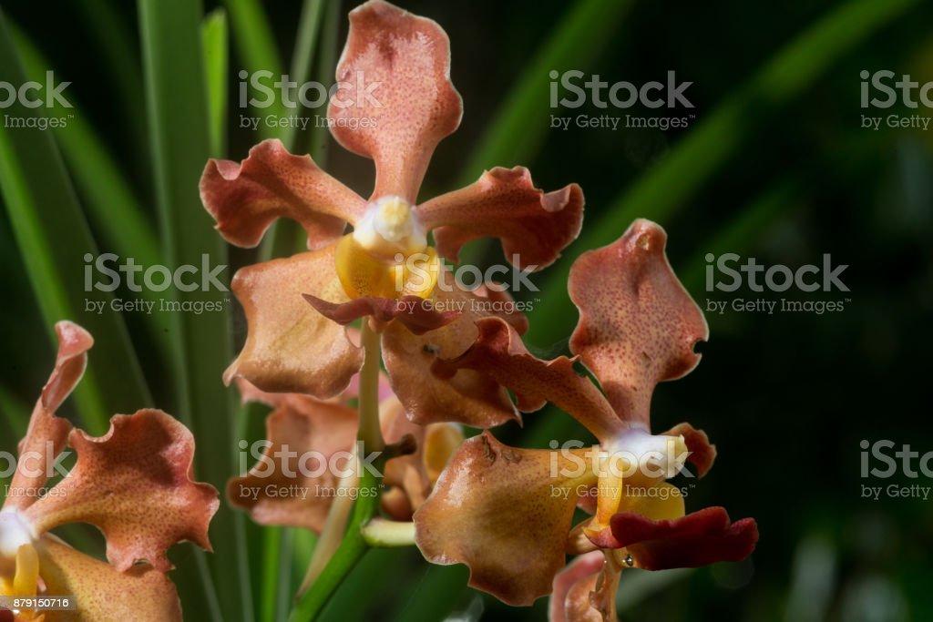 Udon Sunshine Orchid : Fragrance Orchid of Thailand  Codariocalyx motorius ohashi leguminosae stock photo