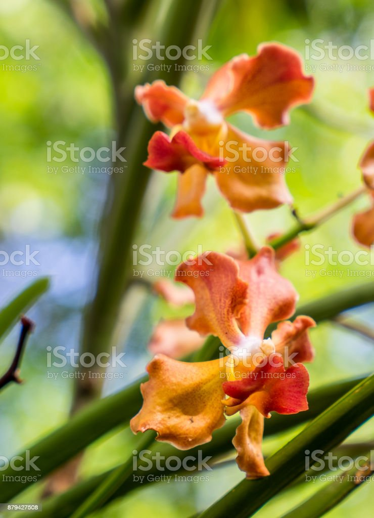 Udon Sunshine Orchid  Thai Fragrance Vanda orchid stock photo