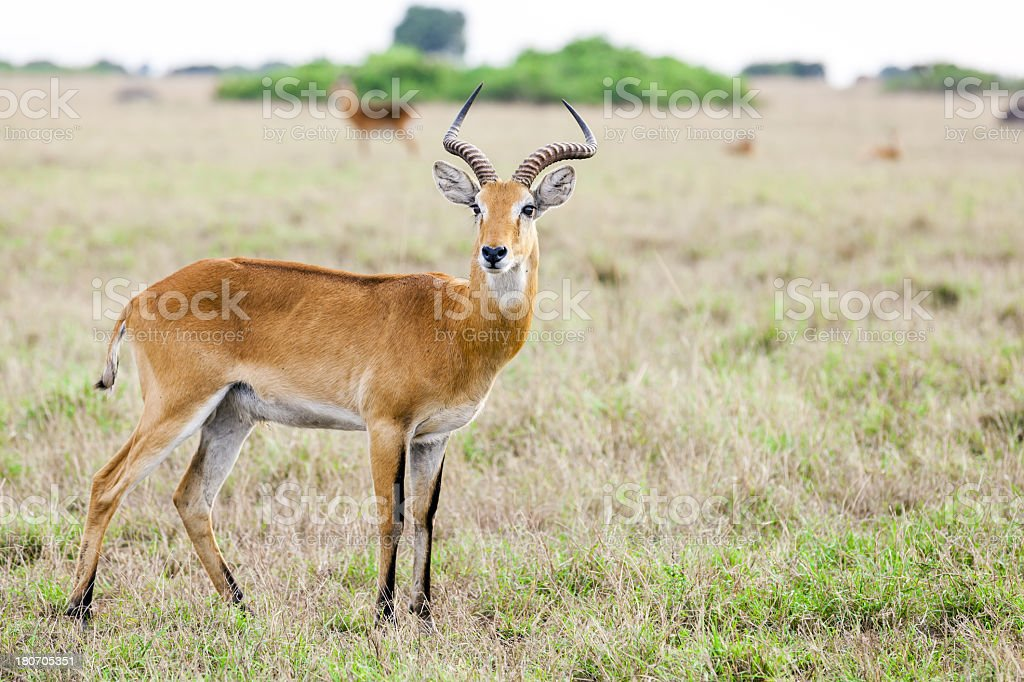 Uganda Kob at savannah royalty-free stock photo