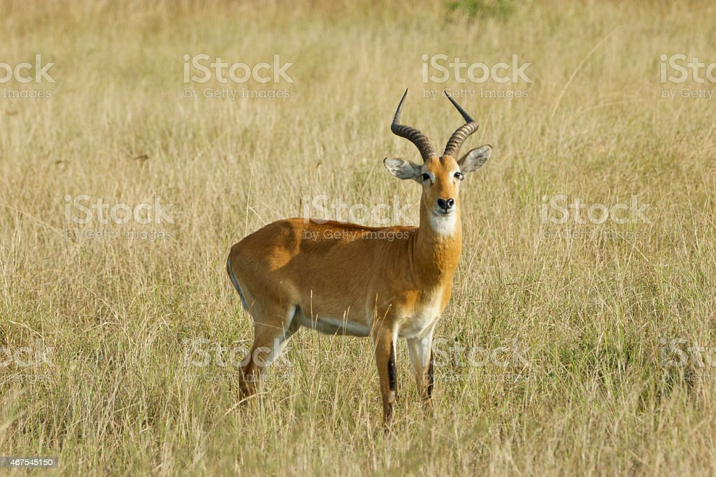 Uganda Kob in Queen Elizabeth National Park, Uganda Africa stock photo