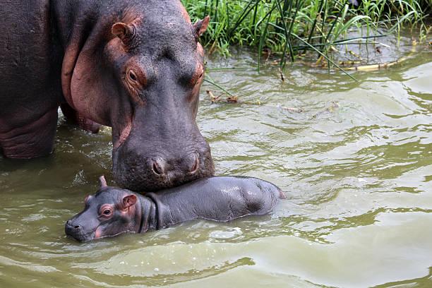 Uganda: Mother and Baby Hippo stock photo