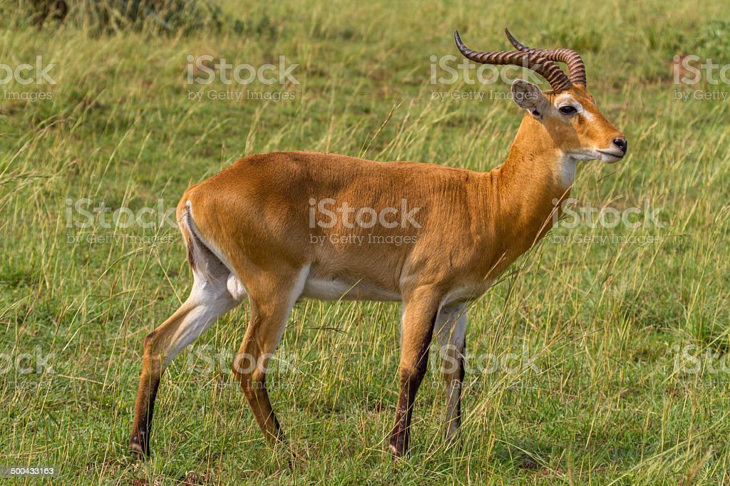 Ugandan Kob stock photo