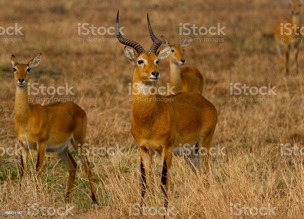 Ugandan Kobs stock photo