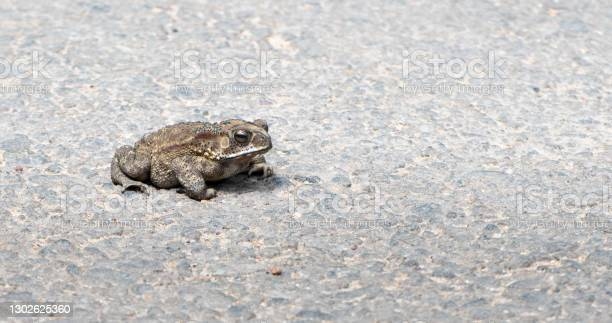 Photo of Ugly and fat Toad spotted in the middle of the road on a hot and sunny day creating sharp shadow underneath the soft body of the frog, Crossing to the other side before vehicle run over.