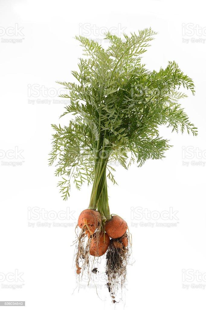 Desagradable, deformados zanahorias aislado sobre blanco foto de stock libre de derechos