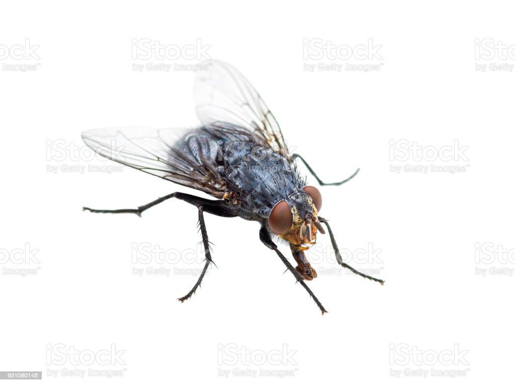 Fotografía de Feo Diptera Mosca Insecto Aislado Sobre Fondo Blanco y ...