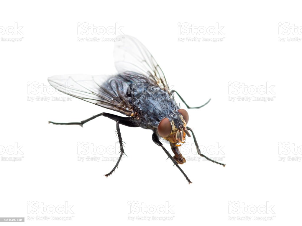 Ugly Diptera Fly Insect Isolated on White Background stock photo