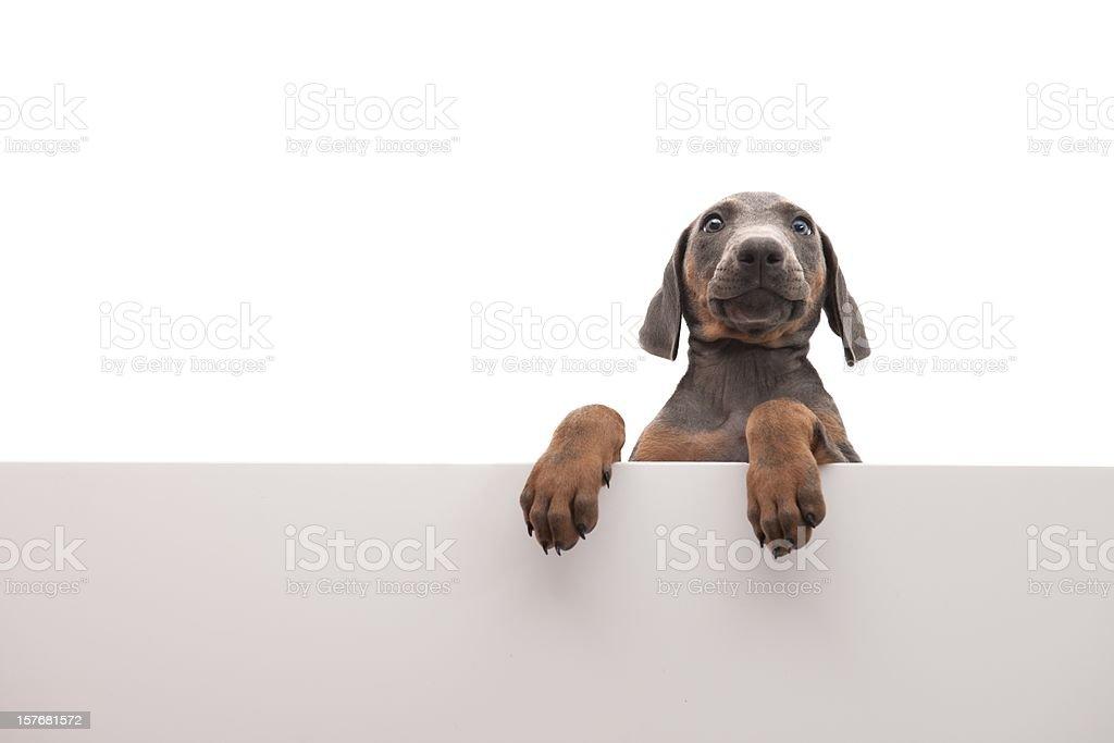 ugly dog royalty-free stock photo