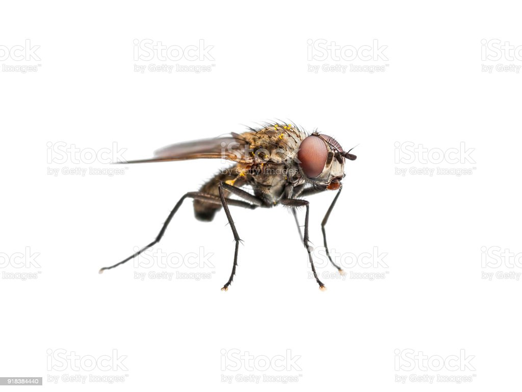 Ugly Drosophila Fly Diptera Insect Isolated on White stock photo