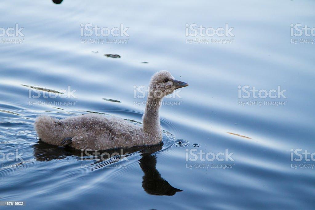 Ugly Duckling Australian Baby Black Swan Cygnet on blue lake stock photo