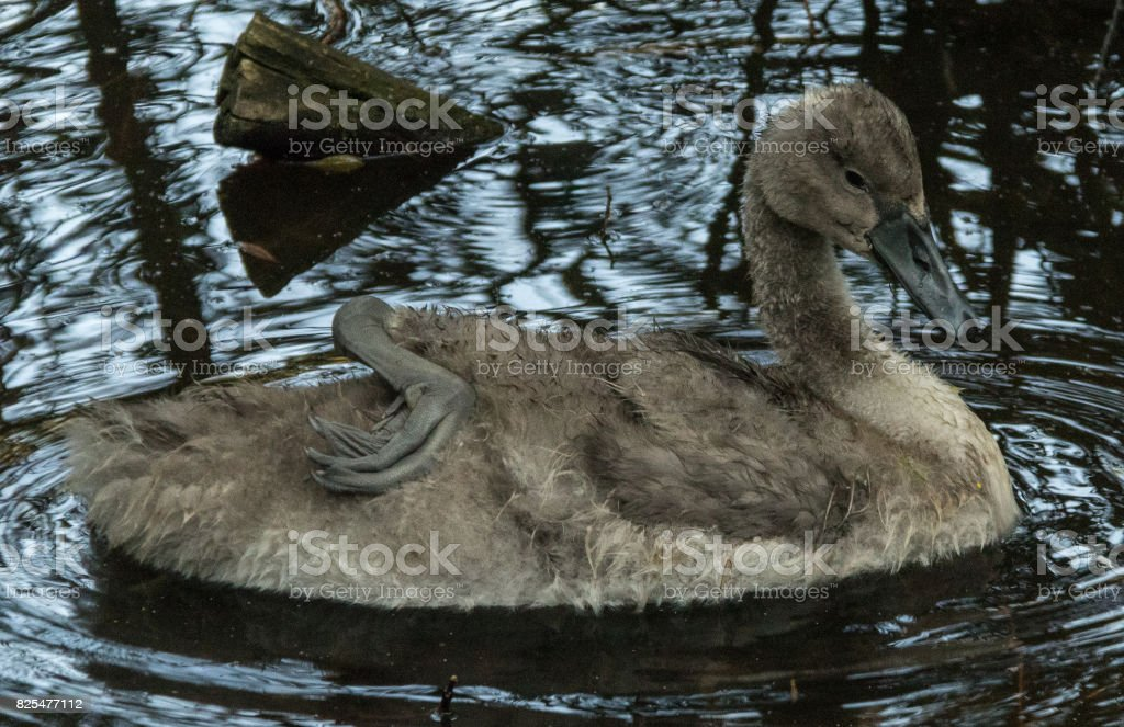 Ugly Duckling stock photo
