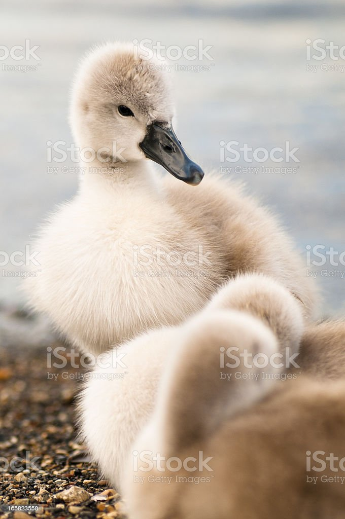 Ugly ducklings stock photo