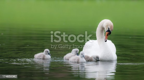 white swan with her five cygnets
