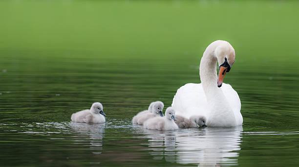 Hässlich ducklings – Foto