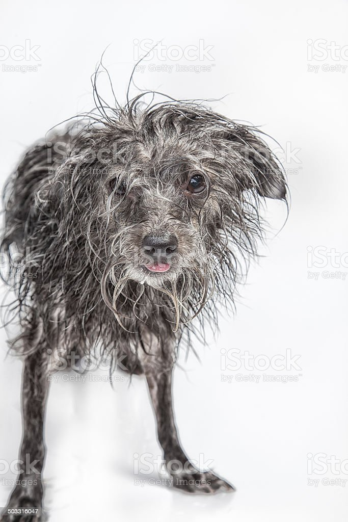 Ugly Scruffy Dog stock photo