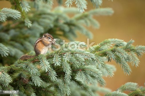 A young Uinta chipmunk perches on a spruce tree and consumes dandelion seeds in the Kawuneeche Valley of Rocky Mountain National Park, Colorado.