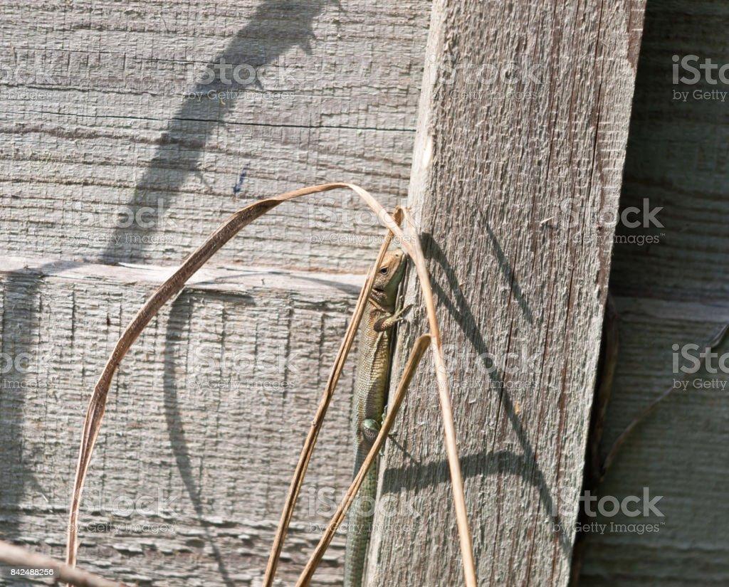 Uk Wilden Gemeinsamen Oder Lebendgebarend Eidechse Auf Zaun Wand