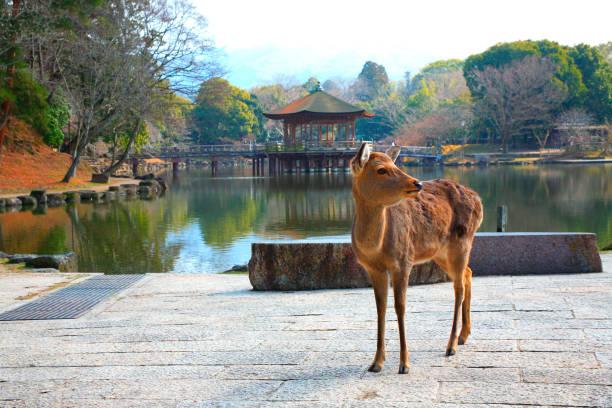 Ukimi-deer stock photo