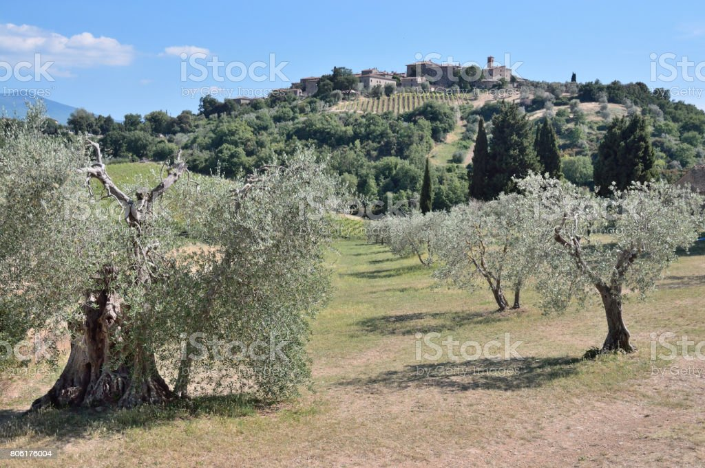 Uliveto,Montalcino Val d'Orcia (SI) Toscana Italy stock photo