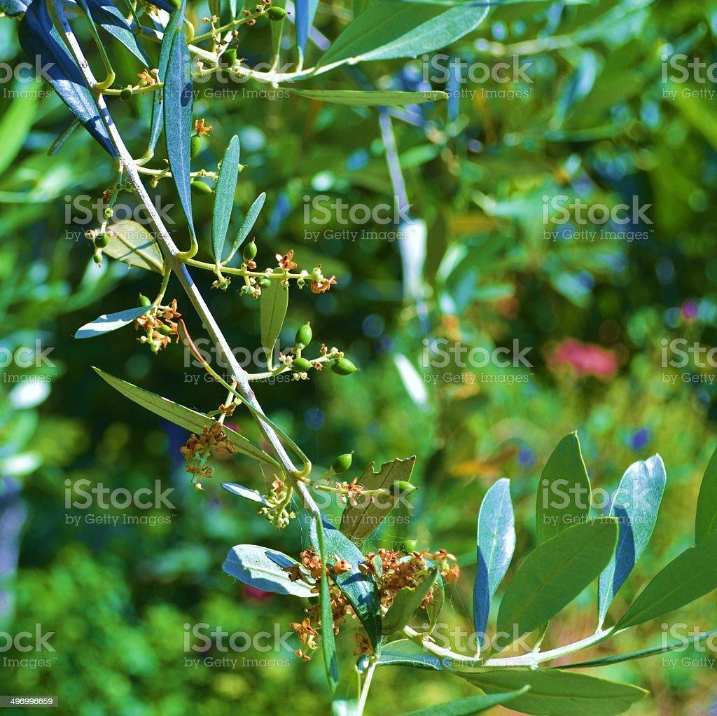 Fiori Ulivo.Ulivo Fiori E Frutti Stock Photo Download Image Now Istock