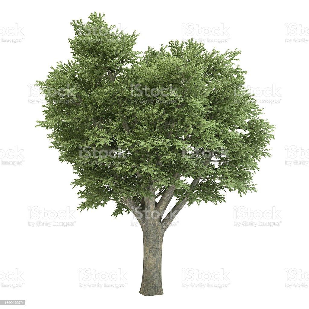 Ulmus Tree Isolated royalty-free stock photo