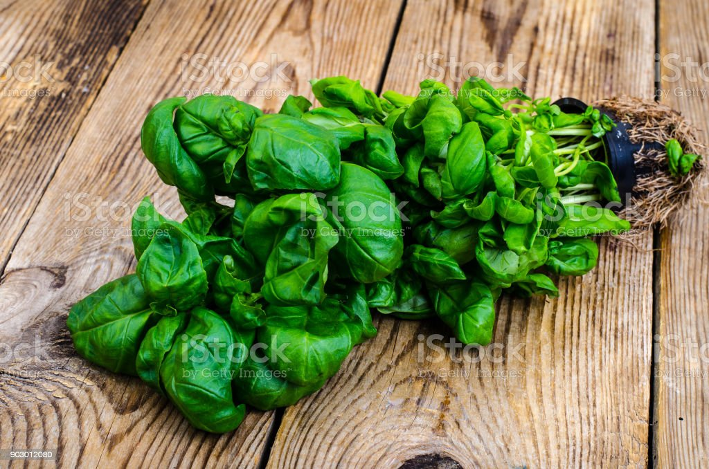 Сultivation Of Organic Herbs Fresh Green Basil With Roots Stock