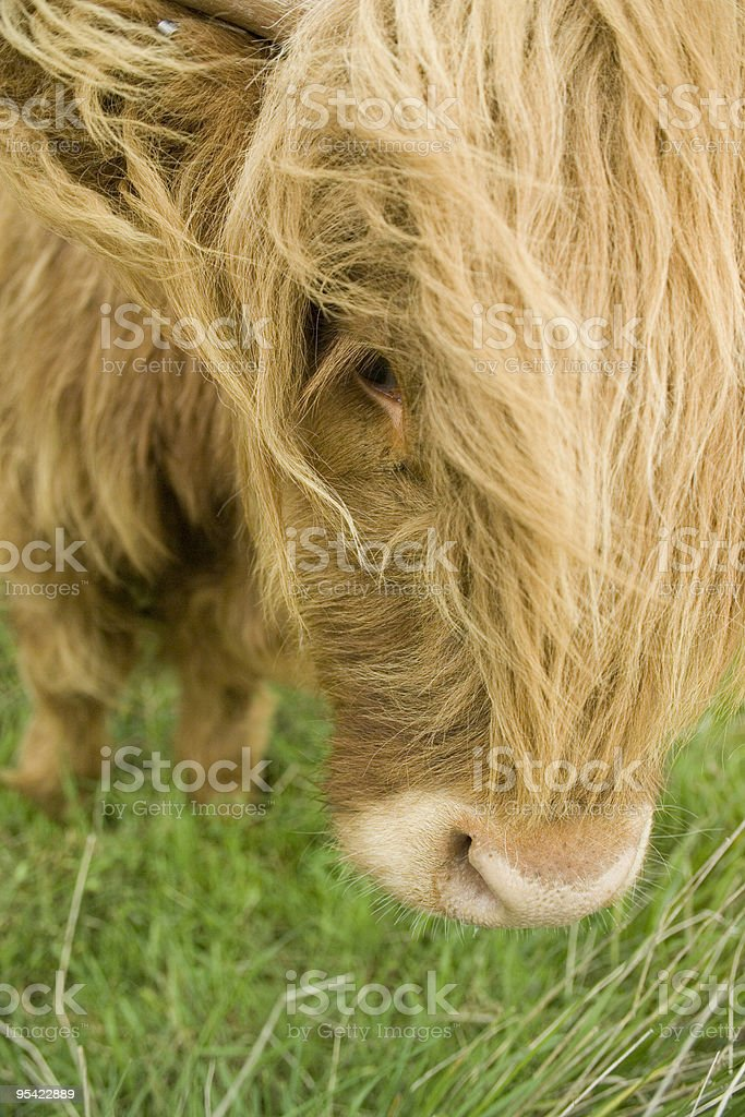 Ultra Nahaufnahme von einem Kühe Gesicht Lizenzfreies stock-foto