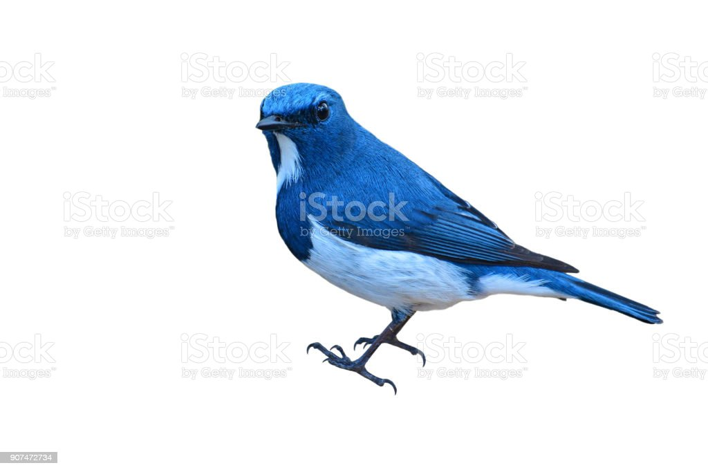 Ultramarine Flycatcher bird stock photo