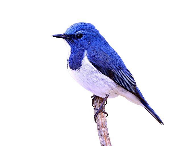 Ultramarine flycatcher or white-browed blue flycatcher (Ficedula stock photo