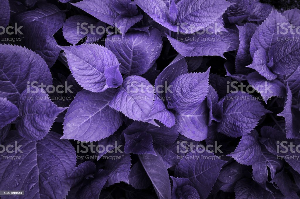 Ultraviolet toned trendy leafs of hydrangea with raindrops. Foliage in garden. Nature toned background. stock photo
