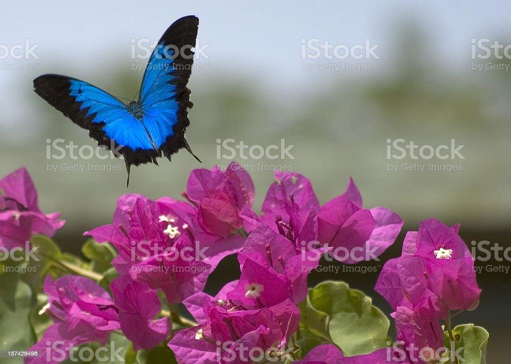 Ulysses butterfly & Bougainvillea flowers stock photo