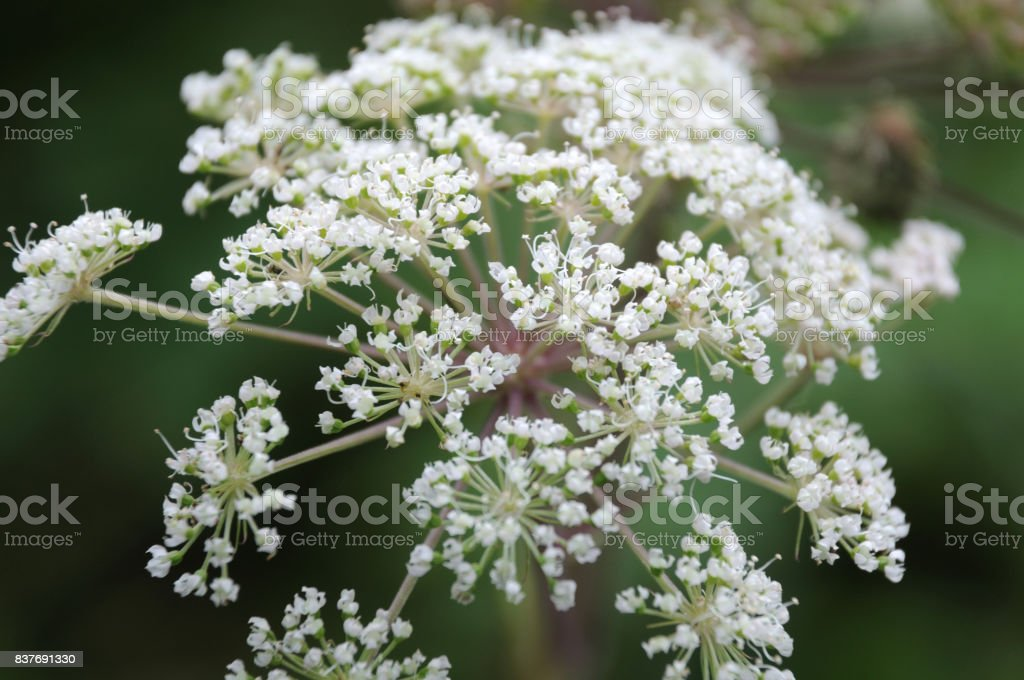 umbel of a wild angelica stock photo